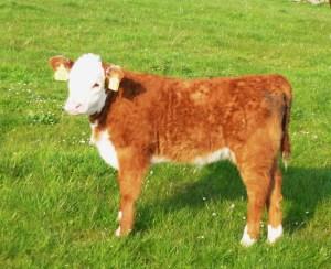Heifer calf born 28/03/2013